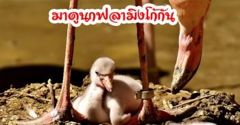 นกฟลามิงโก นกขายาวสีชมพูแสนสวยชอบยืนขาเดียว