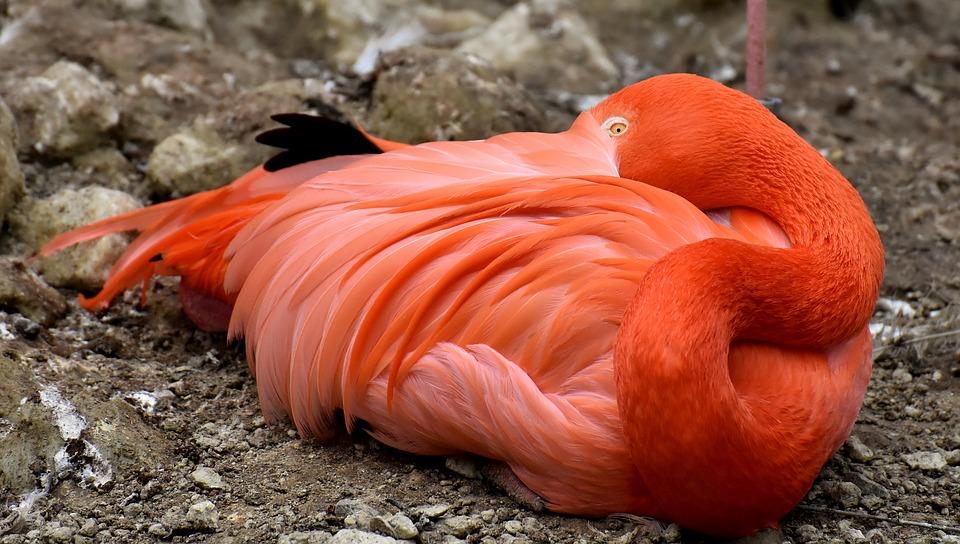 นกฟลามิงโก้