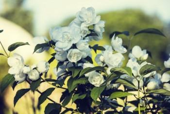 รวมภาพดอกมะลิสวย ๆ เอาไว้ใช้ทำการ์ดวันแม่ค่ะ